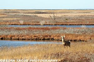 Chatham's Monomoy Deer